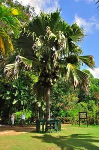 Female Coco de Mer tree